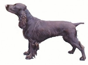 How to Train a Field Spaniel