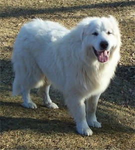 How to Train a Great Pyrenees