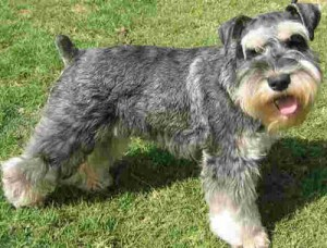 How to Train a Miniature Schnauzer