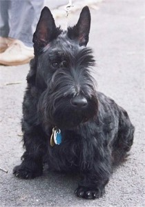 How to Train a Scottish Terrier