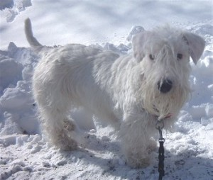 How To Train A Sealyham Terrier