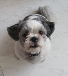 How to Train a Shih Tzu