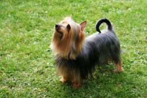 How to Train a Silky Terrier