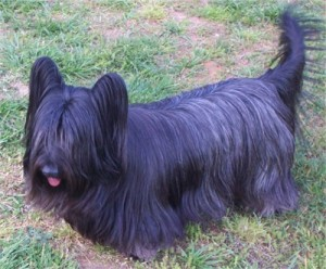 How to Train a Skye Terrier