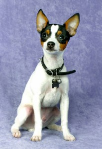 How to Train a Toy Fox Terrier