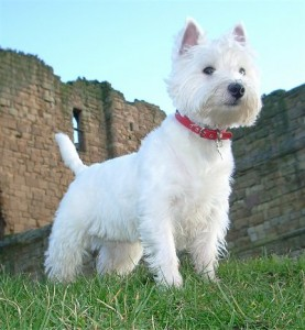 How to Train a West Highland White Terrier