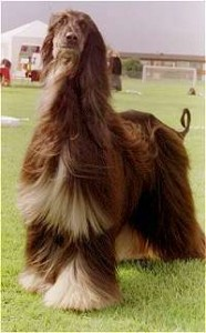 How to Train an Afghan Hound -
