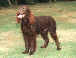 How to Train an American Water Spaniel
