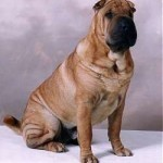 Sharpei Dog Trainers Salt Lake City