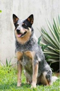 How-to-train-an-australian-cattle-dog