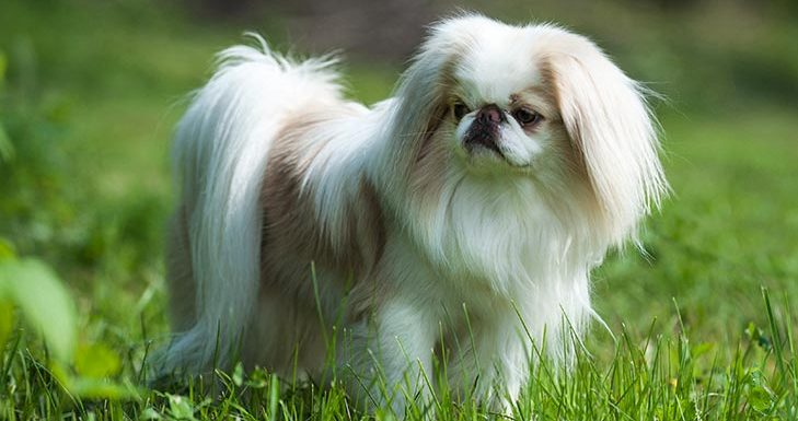 How to Train a Japanese Chin