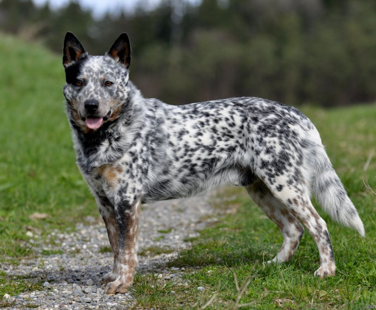 How to Train an Australian Cattle Dog