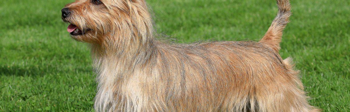 How to Train an Australian Terrier