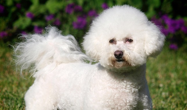 How to Train a Bichon Frise