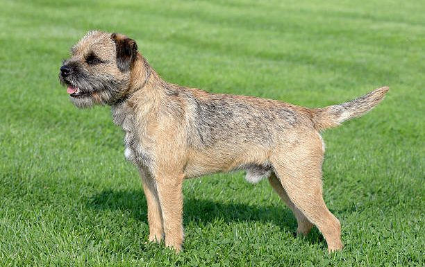 How to Train a Border Terrier