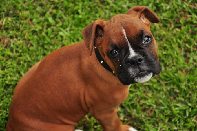 How to Train a Boxer Dog