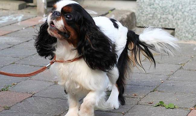 How to Train an English Toy Spaniel
