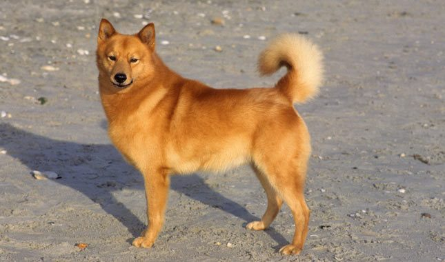 How to Train a Finnish Spitz