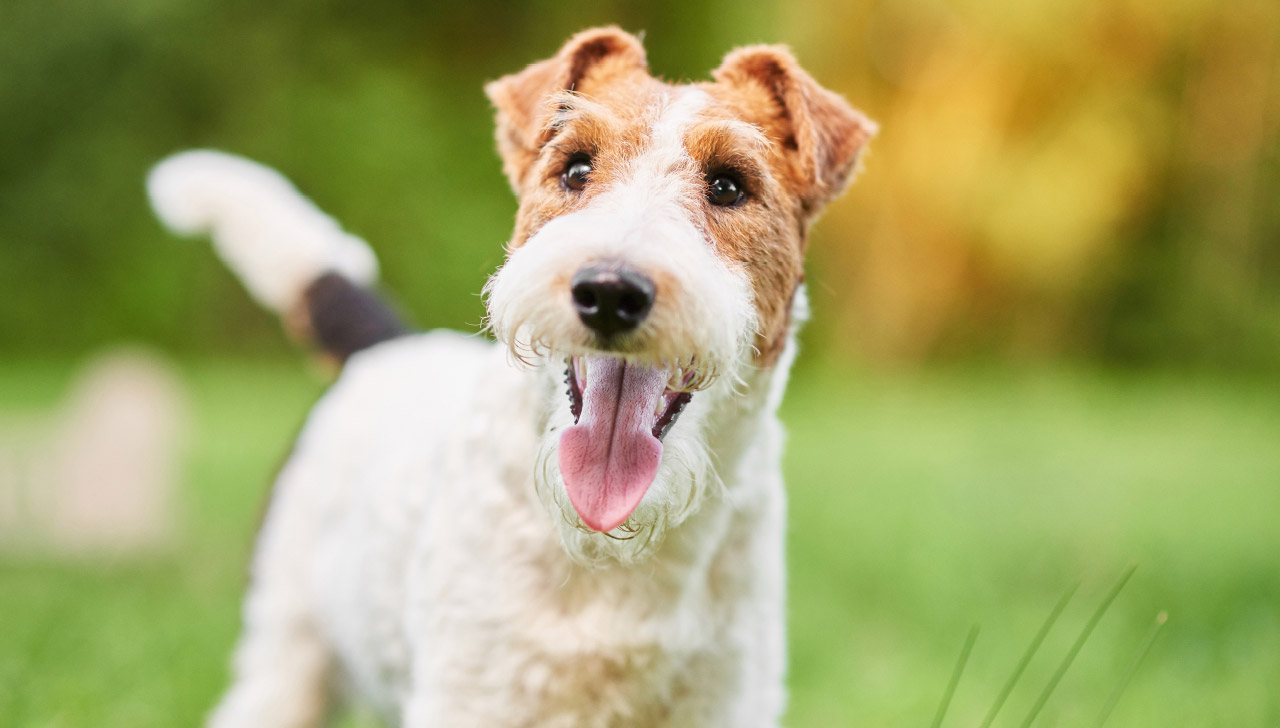 How to Train a Fox Terrier