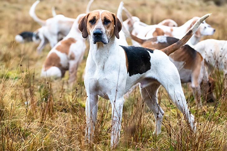 How to Train a Foxhound