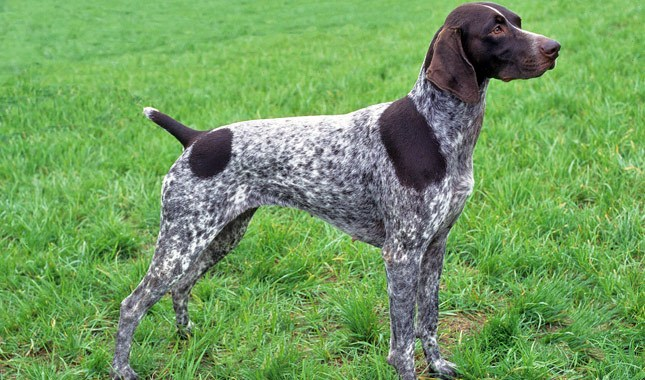 How to Train a German Shorthair and German Wirehaired Pointer