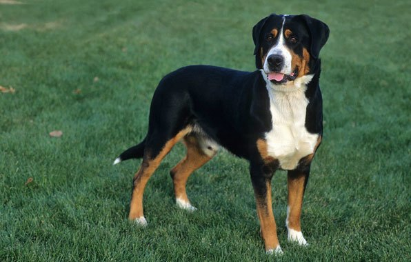 How to Train a Greater Swiss Mountain Dog