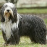 how-to-train-a-bearded-collie-150x150