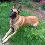 How to Train a Belgian Malinois