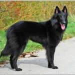 Belgian Sheepdog Training