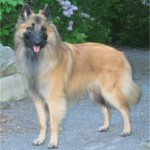 Belgian Tervuren Training