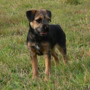 Border-Terrier training
