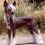 Chinese Crested dog Training