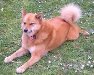 how-to-train-a-finnish-spitz
