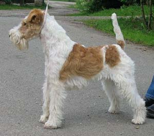 how-to-train-a-fox-terrier