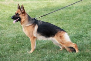 how-to-train-a-german-shepherd
