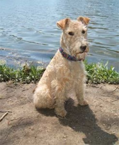 Lakelend Terrier Training
