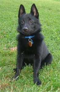 Schipperke Dog Breed Trainers