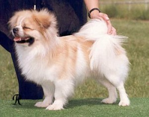 How to Train a Tibetan Spaniel