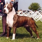 how-to-train-an-american-staffordshire-terrier-150x150