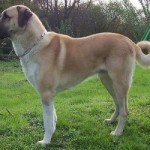 how-to-train-an-anatolian-shepherd-150x150