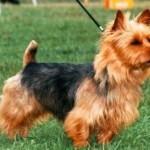 Australian Terrier Training