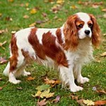 english-toy-spaniel training