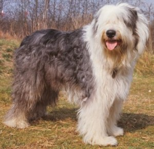 English SheepDog Training