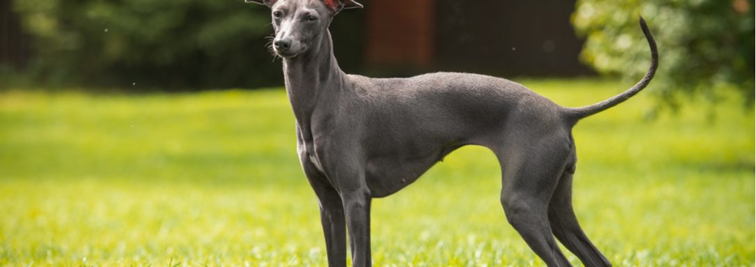How to Train an Italian Greyhound