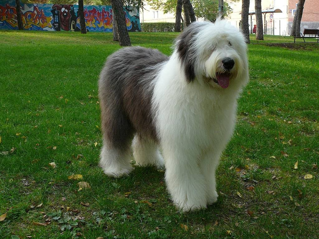 How to Train an Old English Sheepdog