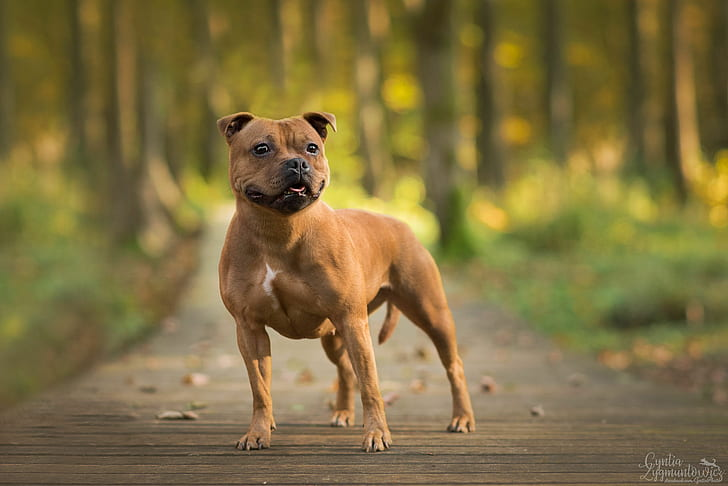 How to Train a Staffordshire Bull Terrier