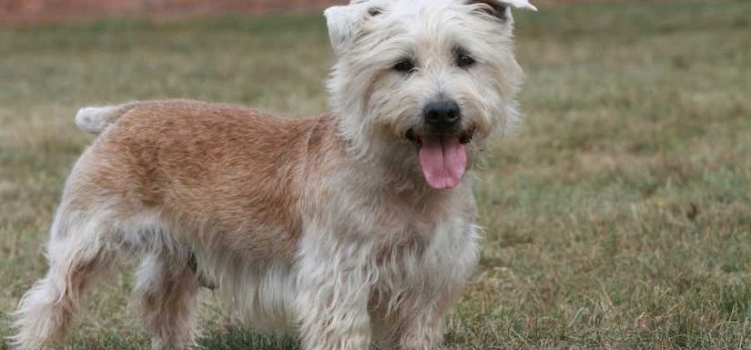 How to Train a Glen of Imaal Terrier