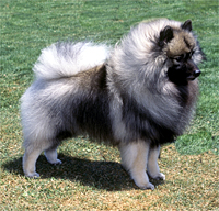 How to Train a Keeshond