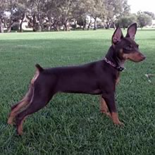 Miniature Pinscher Training