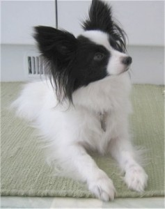 How-to-Train-a-Papillon